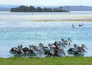 pelican01.jpg