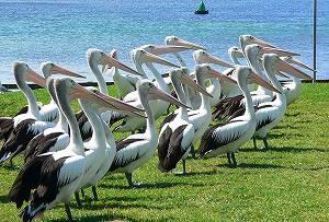 pelican04.jpg