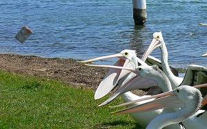 pelican05.jpg
